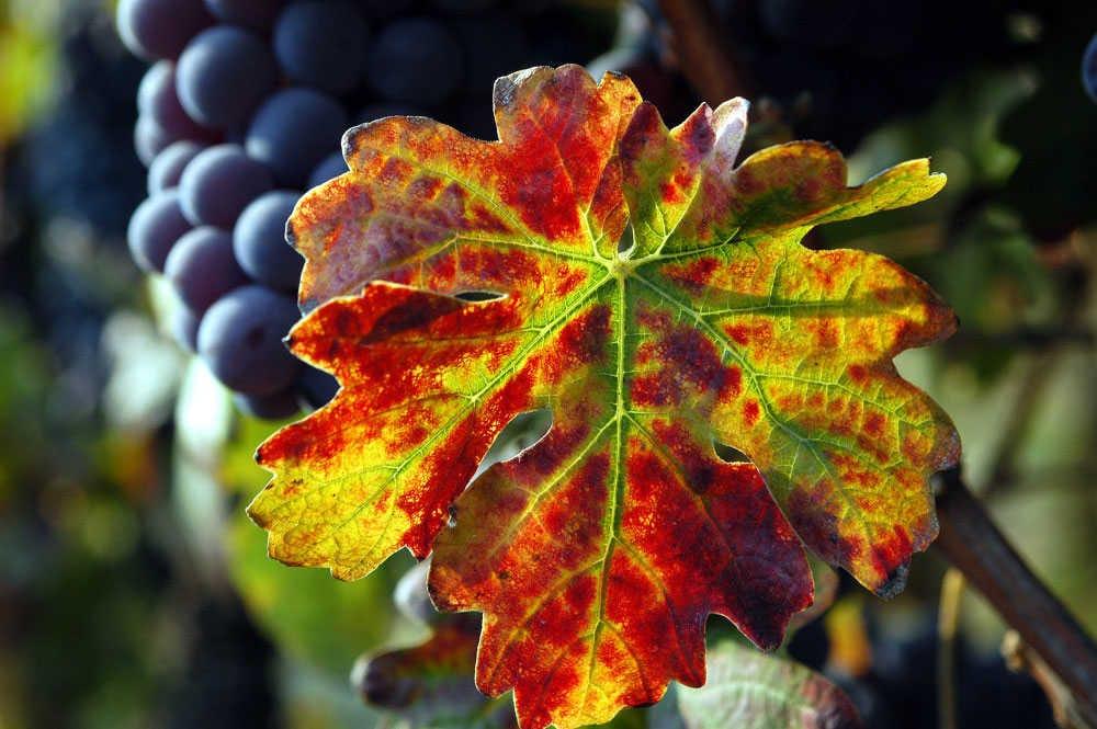Corso di Nebbiolo un vitigno tanti vini