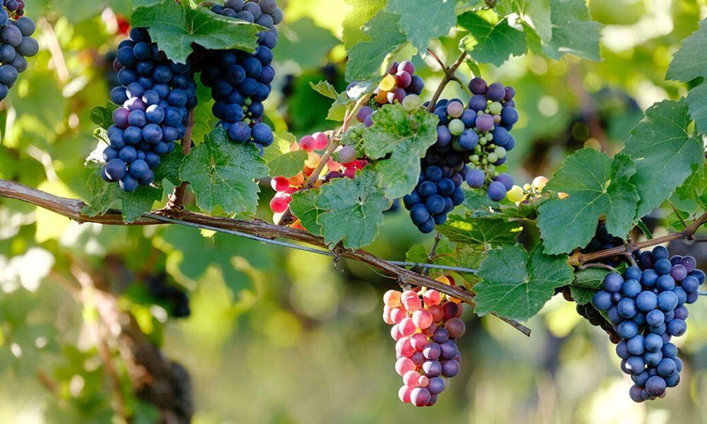 Corso di Sua maestà il Pinot Noir